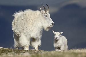 Mountain Goat Nanny and Kid, Mt Evans, Arapaho-Roosevelt Nat'l Forest, Colorado, USA by James Hager