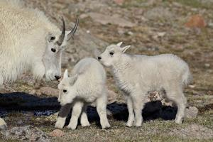 Mountain Goat Nanny and Kids, Mt Evans, Arapaho-Roosevelt Nat'l Forest, Colorado, USA by James Hager