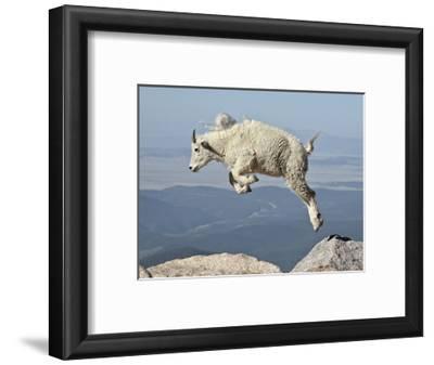 Mountain Goat (Oreamnos Americanus) Kid, Mt Evans, Arapaho-Roosevelt Nat'l Forest, Colorado, USA