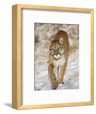 Mountain Lion (Cougar) (Felis Concolor) in the Snow, in Captivity, Near Bozeman, Montana, USA