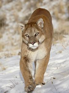 Mountain Lion (Cougar) (Felis Concolor) in the Snow, in Captivity, Near Bozeman, Montana, USA by James Hager