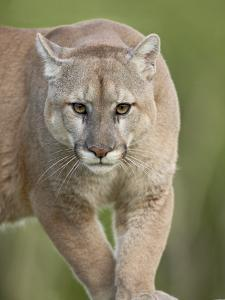Mountain Lion or Cougar, in Captivity, Sandstone, Minnesota, USA by James Hager