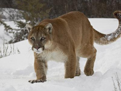 Mountain Lion or Cougar in Snow, Near Bozeman, Montana, USA