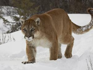 Mountain Lion or Cougar in Snow, Near Bozeman, Montana, USA by James Hager