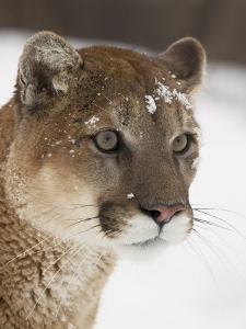 Mountain Lion or Cougar in Snow, Near Bozeman, Montana, USA by James Hager