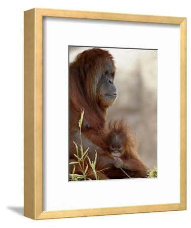 Orangutan Mother and 6-Month Old Baby in Captivity, Rio Grande Zoo