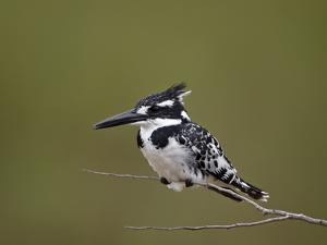Pied Kingfisher (Ceryle Rudis), Kruger National Park, South Africa, Africa by James Hager