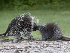 Porcupine Mother and Baby, in Captivity, Sandstone, Minnesota, USA by James Hager