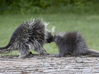 Porcupine Mother and Baby, in Captivity, Sandstone, Minnesota, USA