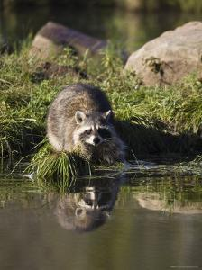 Raccoon (Racoon) (Procyon Lotor) at Waters Edge with Reflection, in Captivity, Minnesota, USA by James Hager