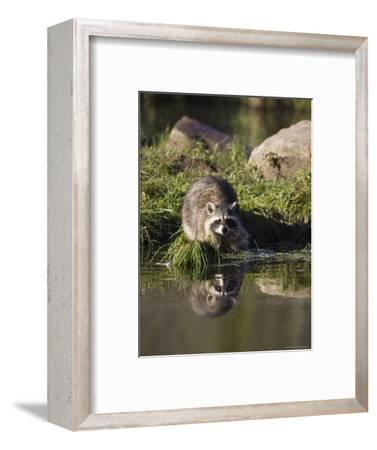 Raccoon (Racoon) (Procyon Lotor) at Waters Edge with Reflection, in Captivity, Minnesota, USA