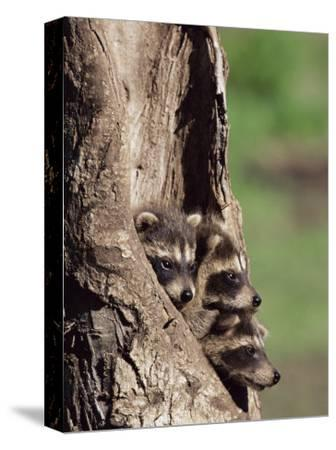Raccoons (Racoons) (Procyon Lotor), 41 Day Old Young in Captivity, Sandstone, Minnesota, USA