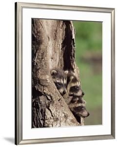 Raccoons (Racoons) (Procyon Lotor), 41 Day Old Young in Captivity, Sandstone, Minnesota, USA by James Hager