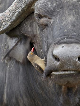 Red-Billed Oxpecker (Buphagus Erythrorhynchus) on a Cape Buffalo (African Buffalo) (Syncerus Caffer by James Hager
