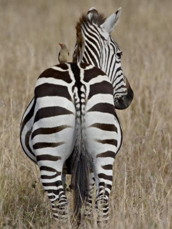 Red-Billed Oxpecker on a Grants Zebra by James Hager