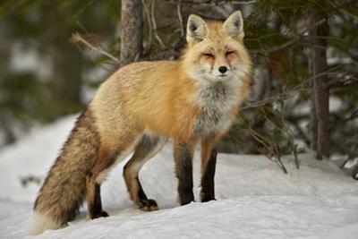 Red Fox (Vulpes Vulpes) (Vulpes Fulva) in Winter, Grand Teton National Park, Wyoming by James Hager