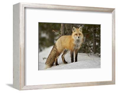 Red Fox (Vulpes Vulpes) (Vulpes Fulva) in Winter, Grand Teton National Park, Wyoming