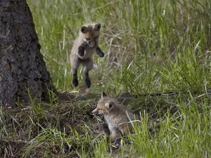 Red Fox (Vulpes Vulpes) (Vulpes Fulva) Kit Pouncing on its Sibling by James Hager