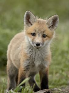 Red Fox (Vulpes Vulpes) (Vulpes Fulva) Pup, Bear River Migratory Bird Refuge, Utah, USA by James Hager