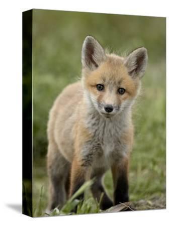 Red Fox (Vulpes Vulpes) (Vulpes Fulva) Pup, Bear River Migratory Bird Refuge, Utah, USA