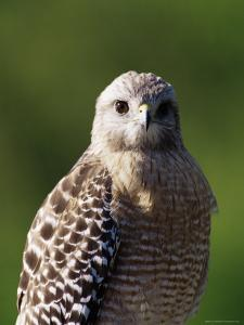 "Red-Shouldered Hawk (Buteo Lineatus), J. N. ""Ding"" Darling National Wildlife Refuge, Florida by James Hager"