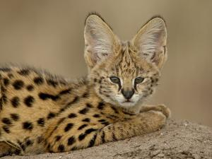 Serval Cub on Termite Mound, Masai Mara National Reserve, Kenya, East Africa, Africa by James Hager