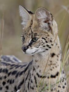 Serval (Felis Serval), Masai Mara National Reserve, Kenya, East Africa, Africa by James Hager