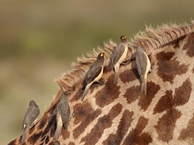 Several Yellow-Billed Oxpecker (Buphagus Africanus) on a Masai Giraffe (Giraffa Camelopardalis Tipp by James Hager