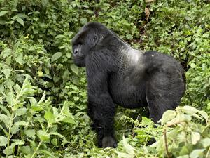 Silverback Mountain Gorilla Standing in Profile, Shinda Group, Rwanda, Africa by James Hager