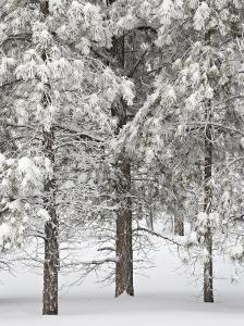 Snow-Covered Pine Trees, Bryce Canyon National Park, Utah, United States of America, North America by James Hager