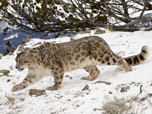 Snow Leopard (Uncia Uncia) in the Snow, in Captivity, Near Bozeman, Montana, USA by James Hager