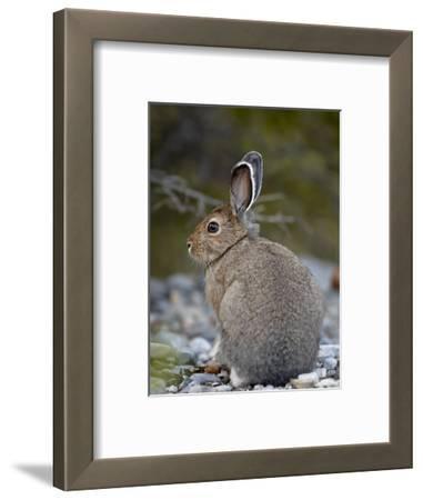 Snowshoe Hare (Lepus Americanus), Banff National Park, Alberta, Canada, North America