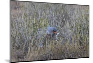 Southern Pale Chanting Goshawk (Melierax Canorus) with a Skink by James Hager