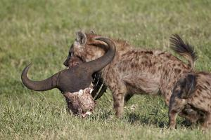 Spotted Hyena or Spotted Hyaena (Crocuta Crocuta) with a Cape Buffalo Skull by James Hager