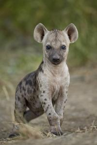 Spotted Hyena (Spotted Hyaena) (Crocuta Crocuta) Cub, Kruger National Park, South Africa, Africa by James Hager