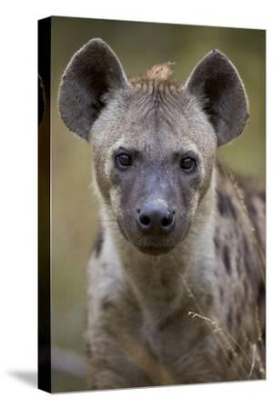Spotted Hyena (Spotted Hyaena) (Crocuta Crocuta), Kruger National Park, South Africa, Africa