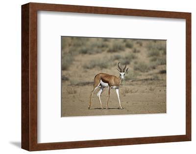 Springbok (Antidorcas Marsupialis) Buck