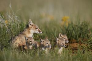 Swift Fox (Vulpes velox) family of a vixen and four kits, Pawnee National Grassland, Colorado, USA by James Hager