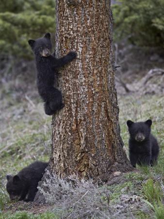 Three Black Bear (Ursus Americanus) Cubs of the Year by James Hager