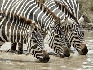 Three Common Zebra (Burchell's Zebra) (Equus Burchelli) Drinking, Ngorongoro Crater, Tanzania, East by James Hager