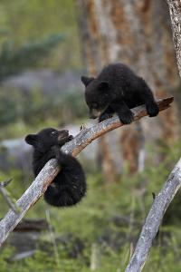Two Black Bear cubs of the year or spring cubs playing, Yellowstone Nat'l Park, Wyoming, USA by James Hager