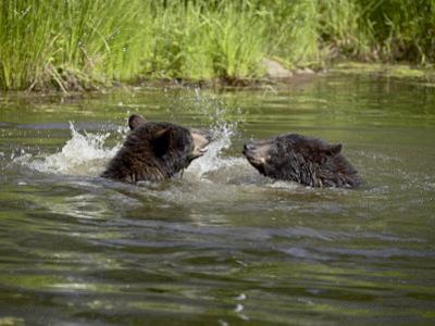 Two Black Bears Playing, in Captivity, Sandstone, Minnesota, USA