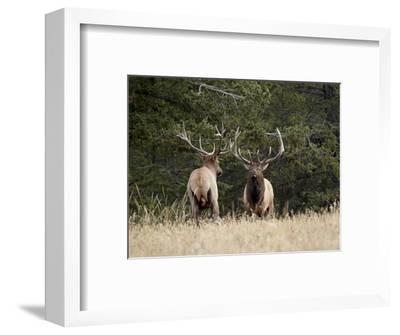 Two Bull Elk (Cervus Canadensis) Facing Off During the Rut, Jasper National Park, Alberta, Canada