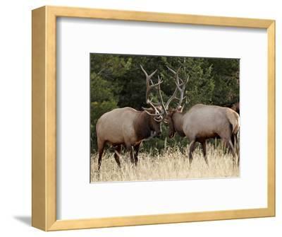 Two Bull Elk (Cervus Canadensis) Sparring During the Rut, Jasper National Park, Alberta, Canada