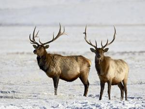 Two Bull Elk in the Snow, National Elk Refuge, Jackson, Wyoming, USA by James Hager