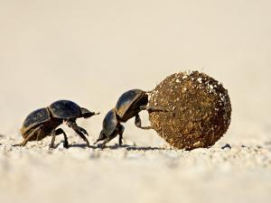 Two Dung Beetles Rolling a Dung Ball, Addo Elephant National Park, South Africa, Africa by James Hager