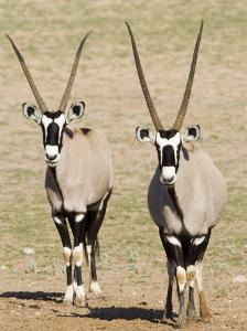 Two Gemsbok (South African Oryx) (Oryx Gazella), Kgalagadi Transfrontier Park, South Africa, Africa by James Hager