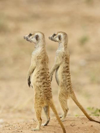 Two Meerkat or Suricate, Kgalagadi Transfrontier Park, South Africa