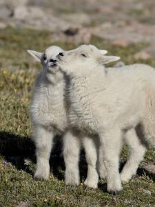 Two Mountain Goat Kids Playing, Mt Evans, Arapaho-Roosevelt Nat'l Forest, Colorado, USA by James Hager