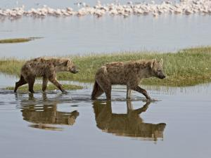 Two Spotted Hyena Walking Along the Edge of Lake Nakuru by James Hager
